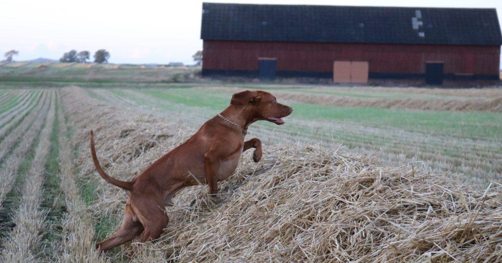 Hund på åker